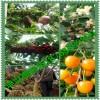 优质大樱桃苗批发;2公分3公分4公分5公分樱桃树苗价格