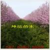 山东新品种龙柱碧桃树苗价格 5公分6公分8公分龙柱碧桃苗基地
