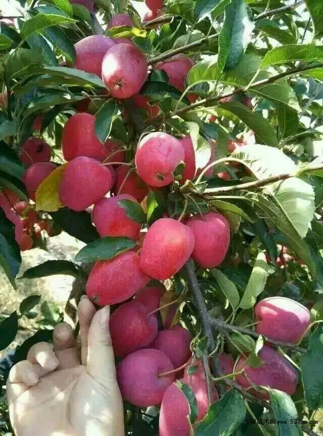 鸡心果苗 123苹果苗 龙丰果苗|果树小苗|绿化苗木