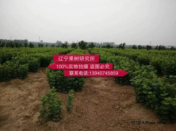 有千余株杂交大果榛子结果大树及榛子果实,供各位前来参观,品尝