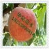 永莲蜜桃桃树苗基地  新品种永莲桃树苗批发价格