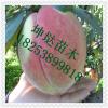 3公分中华福桃桃树苗价格  晚熟桃树苗中华福桃基地