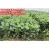 红肉蜜柚适合哪里种植,咨询平和县正达蜜柚种苗有限公司