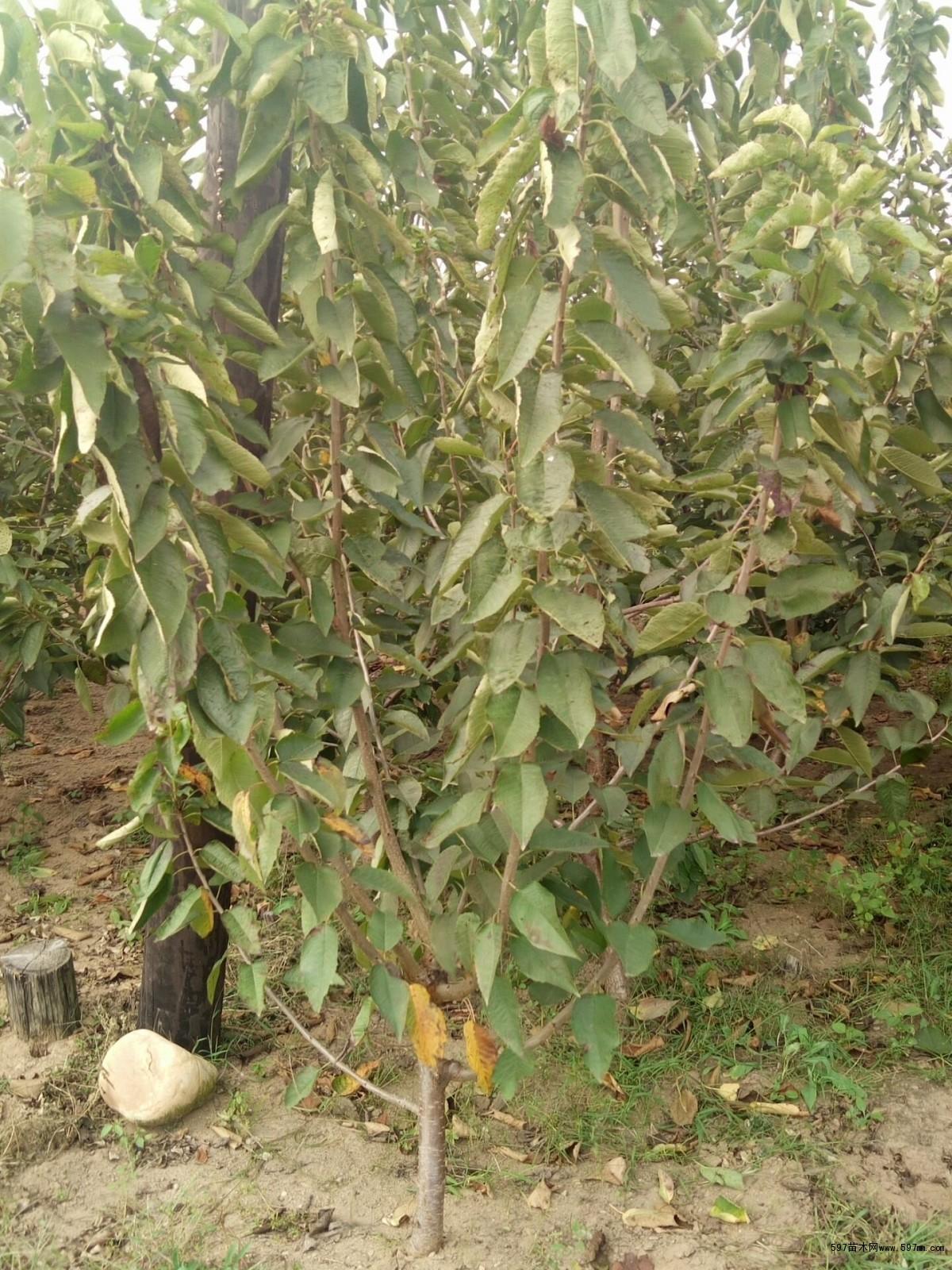 大棚美早樱桃树规格齐全|果树小苗|绿化苗木|供应信息