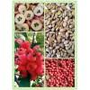 新疆绿化种子 八棱海棠籽 八棱海棠种子 嫁接果木类优良品种