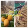 红荷苞杏树苗价格 杏树苗哪里有 杏树苗一棵多少钱