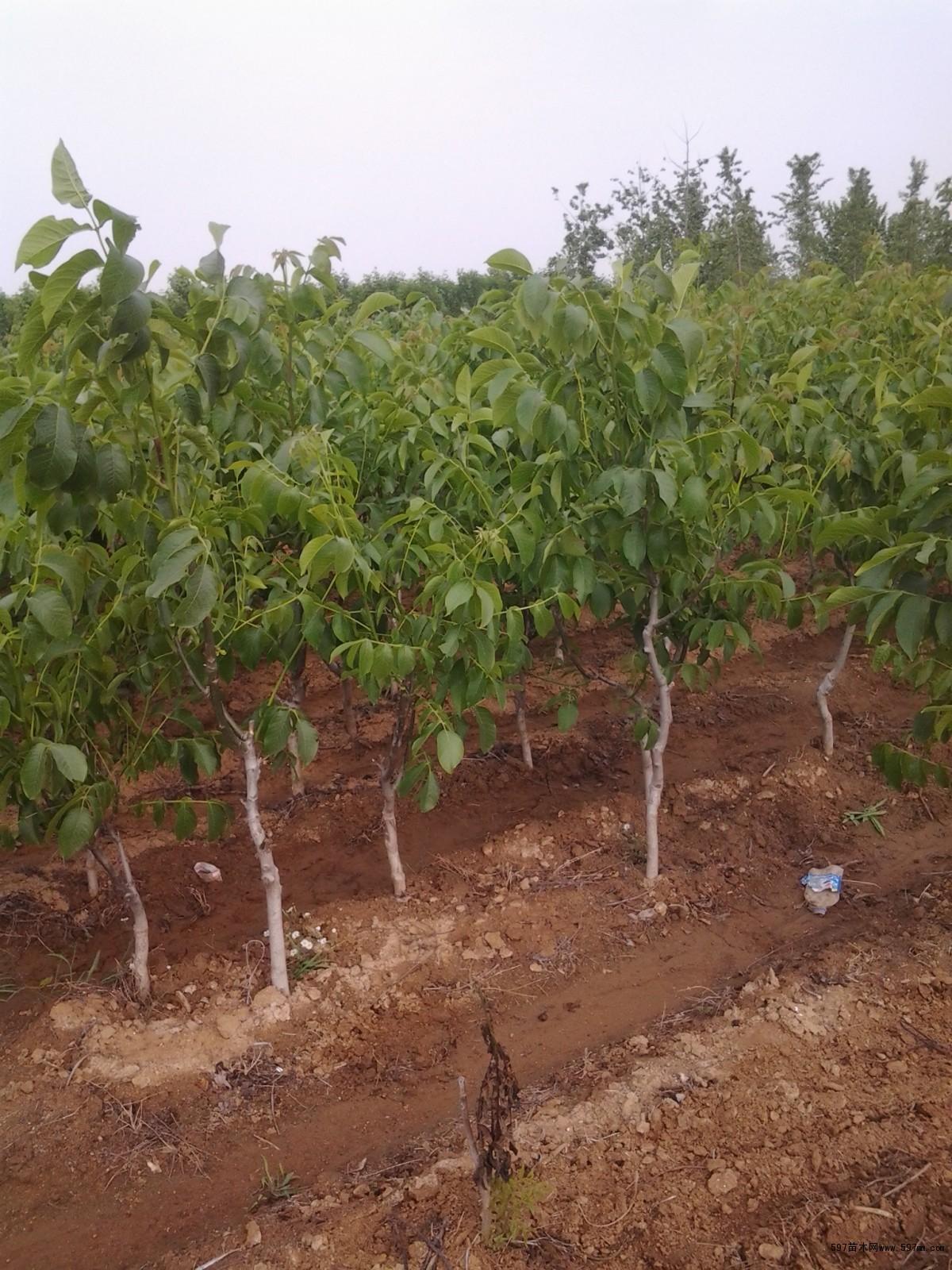 核桃树对修剪时间要求很严,最佳时期在果实采收后到叶片变黄以前进行