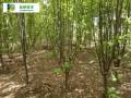 西府海棠苗木