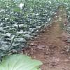 無病蟲害枳殼苗批發   鐵籬笆枳殼苗價格