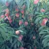 晚熟桃映霜红桃、映霜红桃树苗产地、哪里映霜红桃苗便宜
