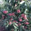 映霜红桃苗多少钱一棵、映霜红桃苗产地、直销批发