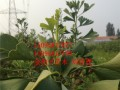 银杏树苗供应基地