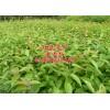 【福州市、莆田市】供应热销绿化苗木品种是福建山樱花小苗吗?