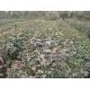 供应枫香小苗高度60公分地径0.4公分售价每棵0.5元、惠丰