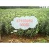 山西苹果苗大量供应13935982560彭飞
