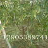 枣树苗销售基地;1公分2公分3公分枣树苗哪里有卖的