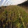 香椿苗種植規格  大棚高產香椿苗規格