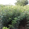 矮化苹果苗价格   M26苹果苗批发   烟富8苹果苗