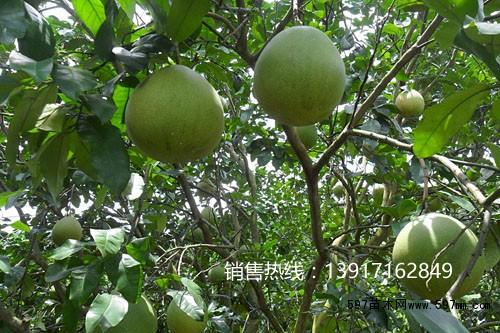 597苗木网 供应信息 绿化苗木 果树小苗   马家柚红心柚子树多少钱一
