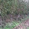 1公分杏树多少钱一棵、三、四、五公分杏树苗哪里有