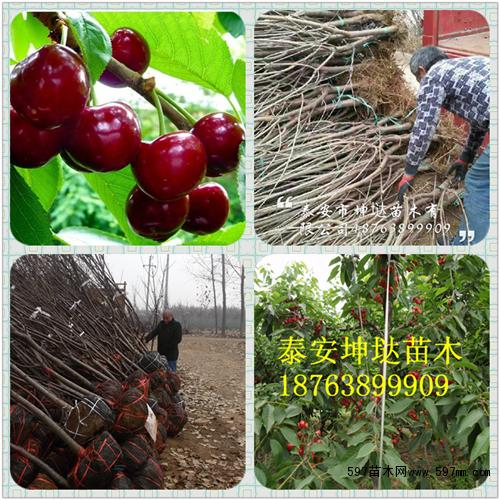 白玉樱桃树苗,3公分樱桃苗,3公分樱桃树苗价格
