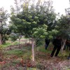 米径10-12cm杨梅价格 15-18公分杨梅树报价