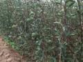 红果苗山楂