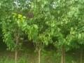 杏树,李子