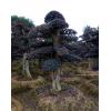 12公分15公分18公分20公公分造型红花继木古桩、红桎木桩