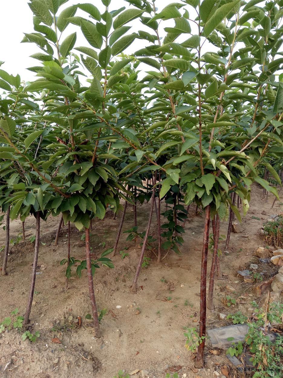 樱桃苗 美早樱桃苗 1-2公分美早樱桃树苗