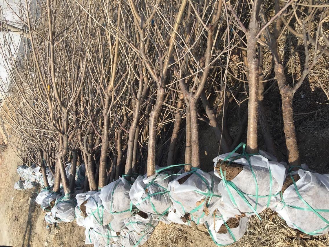 哪里有黑珍珠樱桃树苗 樱桃树苗价格 樱桃树苗管理技术图片