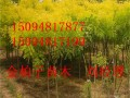 黄金槐种植基地