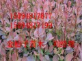 紅葉小檗基地出售