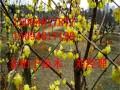 红叶小檗长期出售 欢迎来电咨询