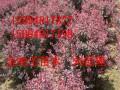 红叶小檗批发销售