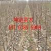 3公分樱桃苗最新价格  3公分樱桃树苗基地 3公分樱桃树