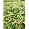 枫香小苗地径1.5公分高100-150公分售价1.2元/棵