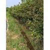 枫香小苗地径2公分高150-200公分售价2.2元每棵