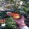 玉露香梨樹苗;2公分梨樹苗、3公分4公分大梨樹價格