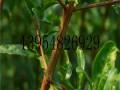 河阴铜皮石榴树苗