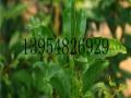 玉石籽石榴树苗