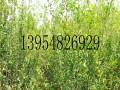 泰山红石榴树苗