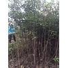 地径2公分木荷小苗高150-200公分价格2.2元/棵