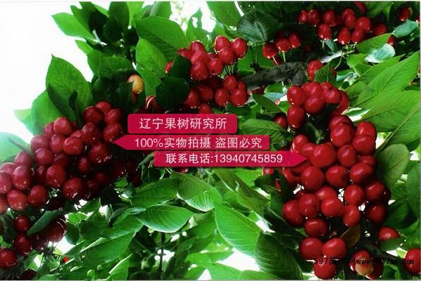 大棚樱桃树苗价格|果树小苗|苗木|苗木报价|597苗木