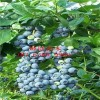 最新蓝丰蓝莓苗价格