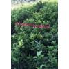 贺州有脐橙果苗卖价格便宜,脐橙纽荷尔,夏橙果苗阿尔及利亚