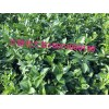 贺州批发夏橙果苗夏橙树苗价格便宜,沙田柚树苗,纽荷尔果苗