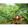 批发1米高香椿树苗
