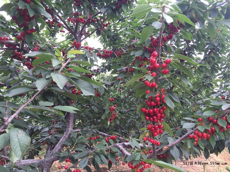 出售大量矮化樱桃苗 大樱桃树苗价格