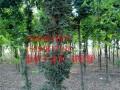 皂角树供应商